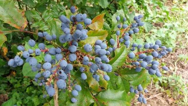 Ein Busch mit blauen Beeren.