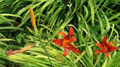 Feuerlilie, eine rote Blüte